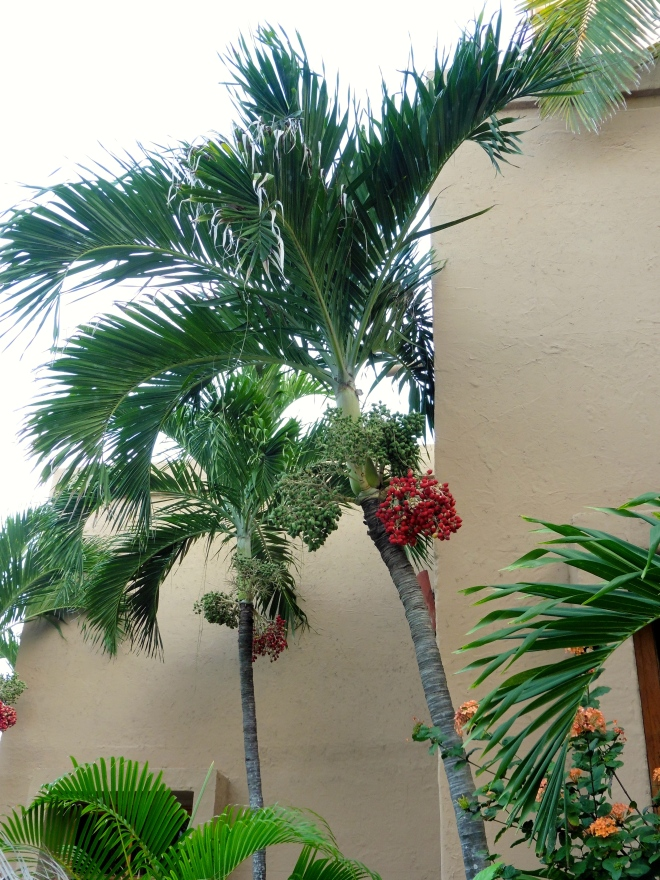 We love the red berries on these palm trees