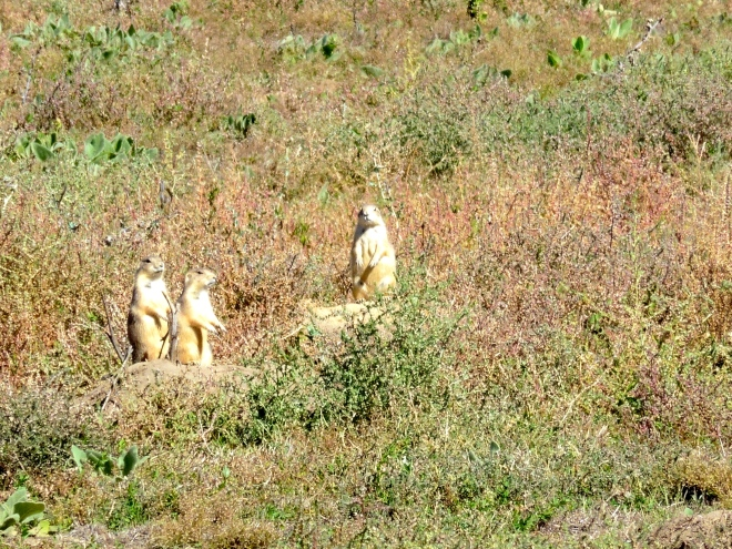 There are so many prairie dogs here!