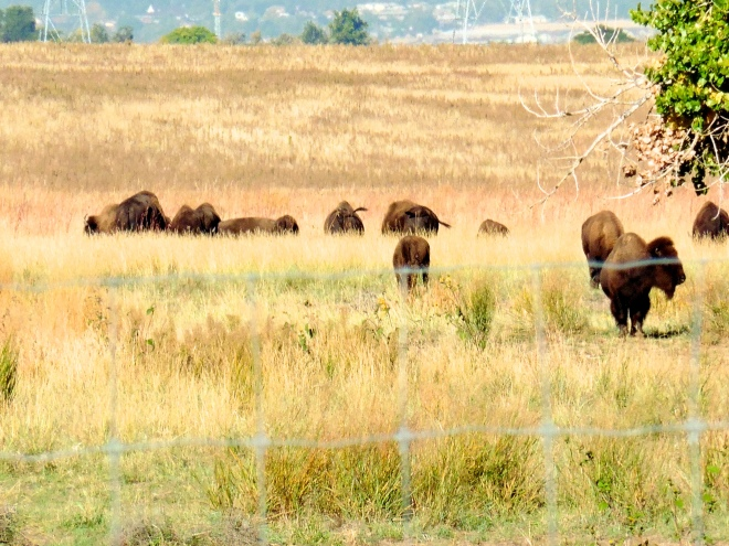 Part of the buffalo herd
