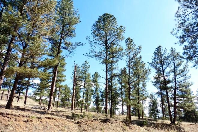 Love the pine trees