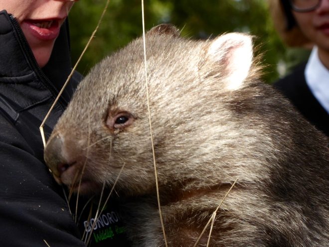 This wombat is so cute