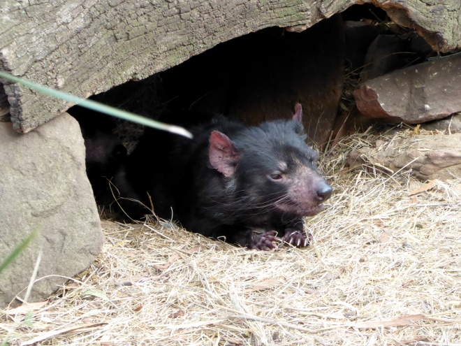 This Tasmanian Devil is coming out to see us