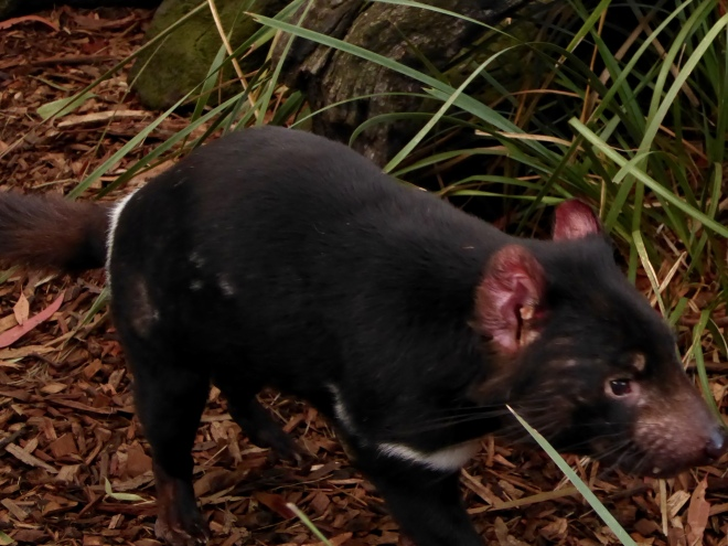 This Tasmanian Devil was running a lot.   He has nice red ears.
