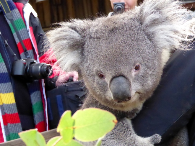 An adorable koala