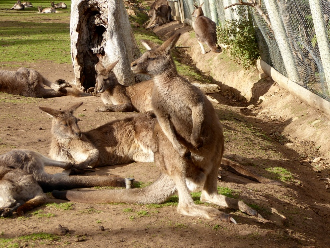 So many kangaroos waiting for us