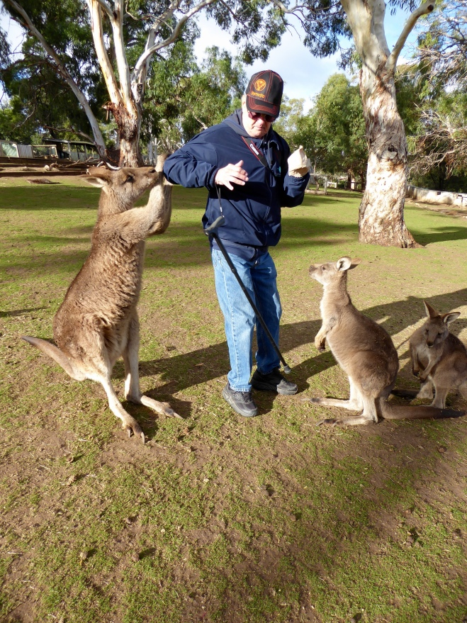 Human has food and the kangaroos want it