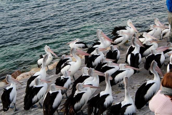 Many pelicans