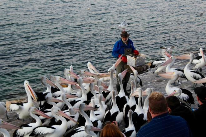 Man talking while pelicans get some fish