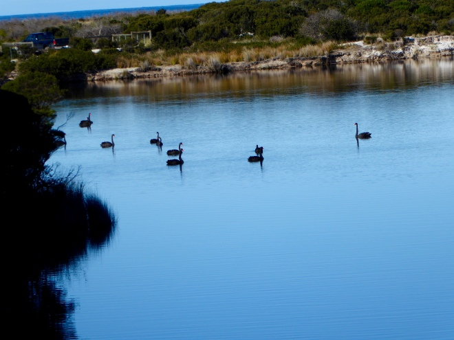 Several beautiful black swans