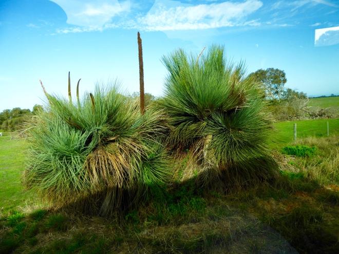 A grass tree