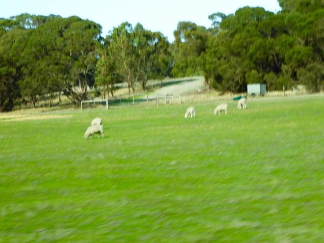 We love the sheep