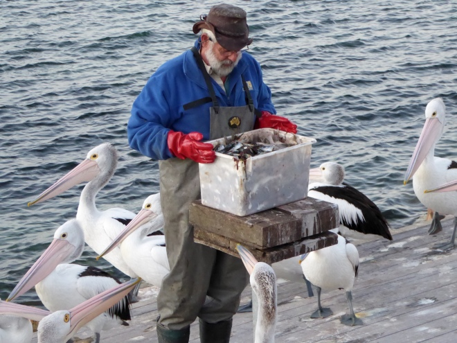Box of fish for pelicans