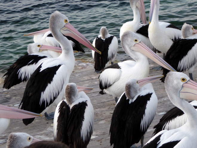 Eager pelicans