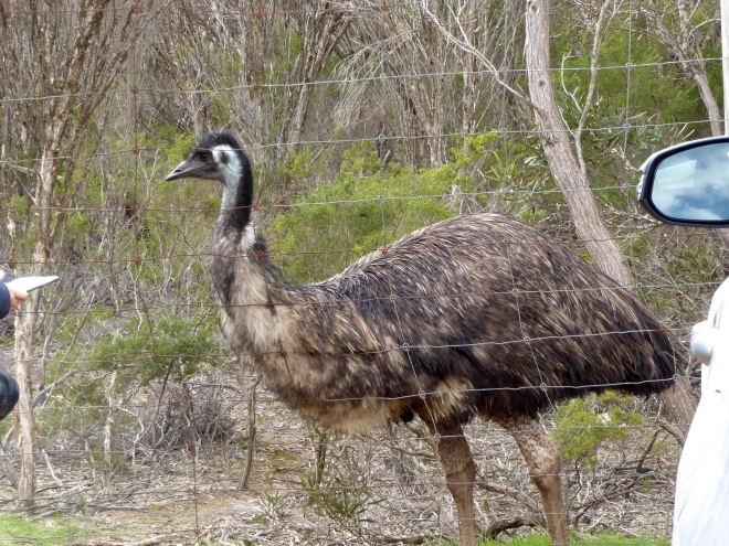 Emu at Emu Ridge