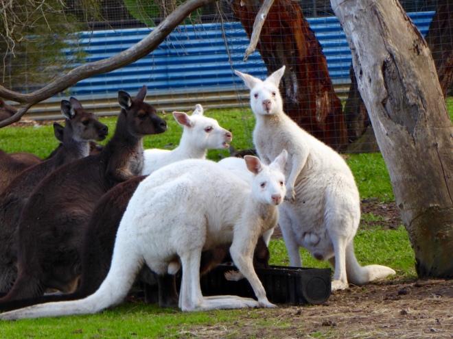 Our kangaroo greeters