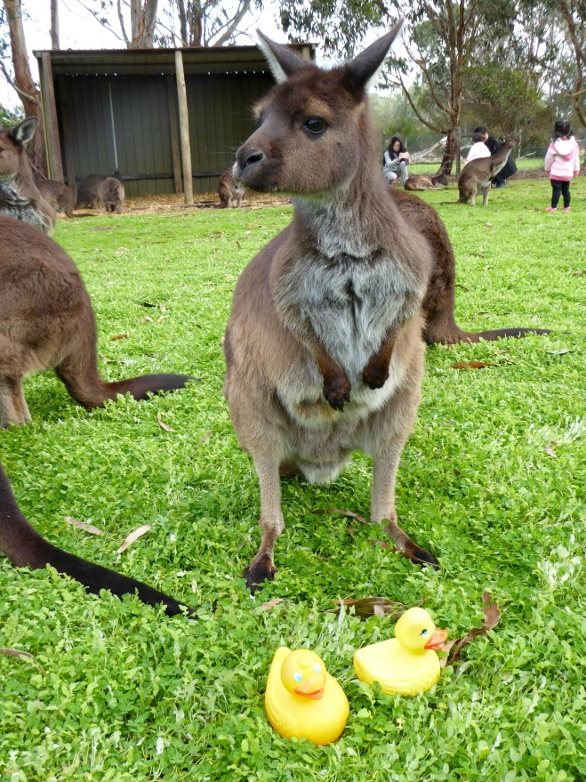 Kangaroos and ducks meet