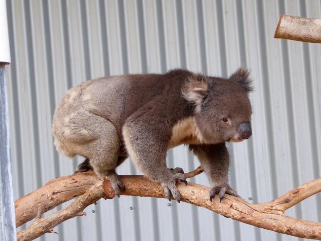 Koala on the move