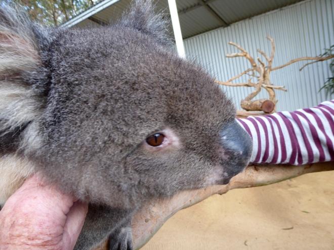Koala likes humans