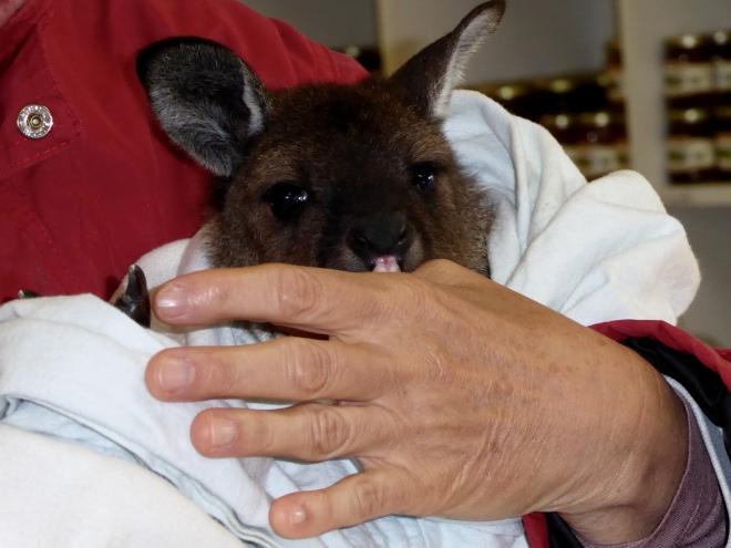 Baby kangaroo likes humans also