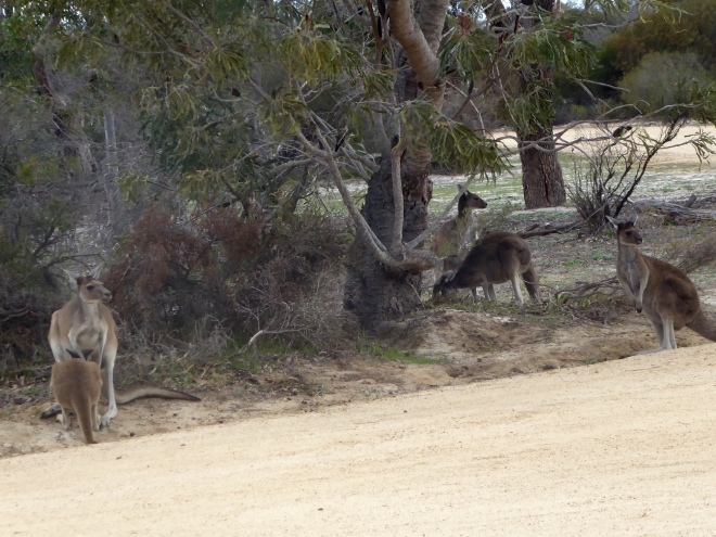 Wild kangaroos but they are not afraid of us--from a distance