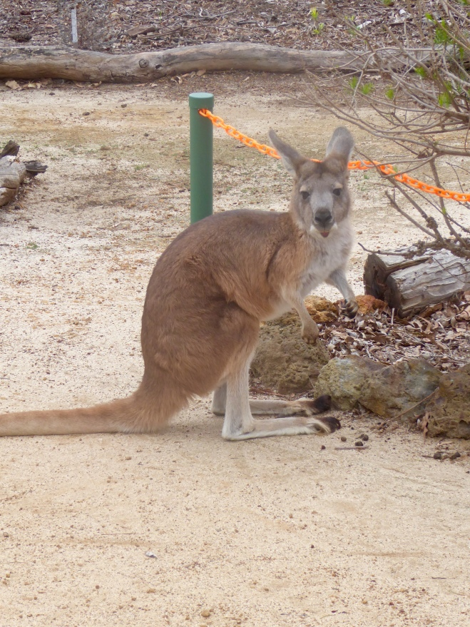 A kangaroo named Honey