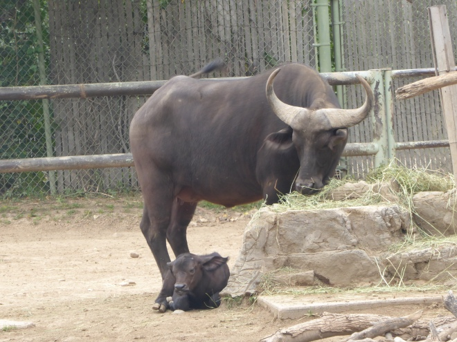 Cape Buffalo and Baby