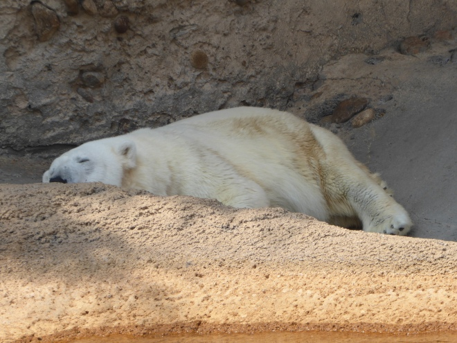 Live Polar Bear taking a nap
