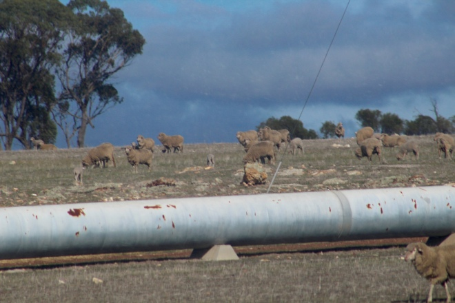 Sheep by pipe to transport valuable water