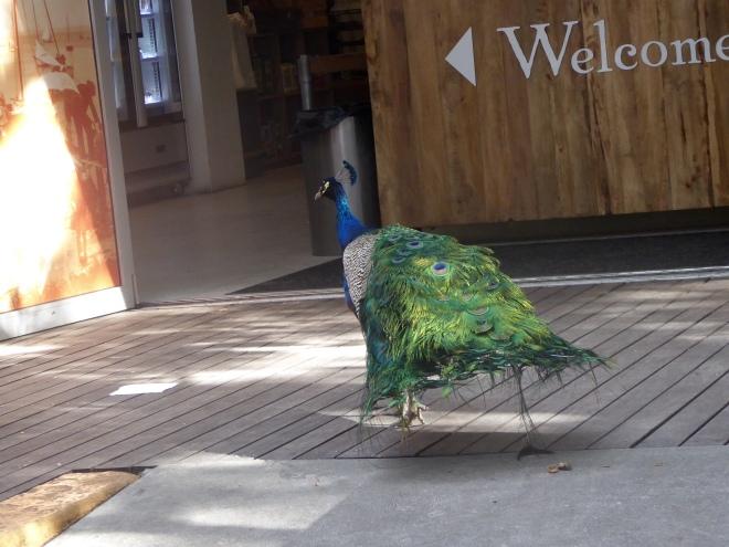 Rottnest Island peacock