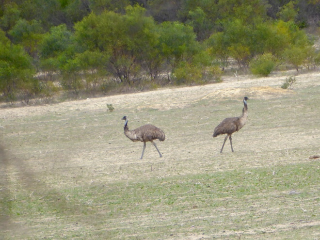 Our first wild emus
