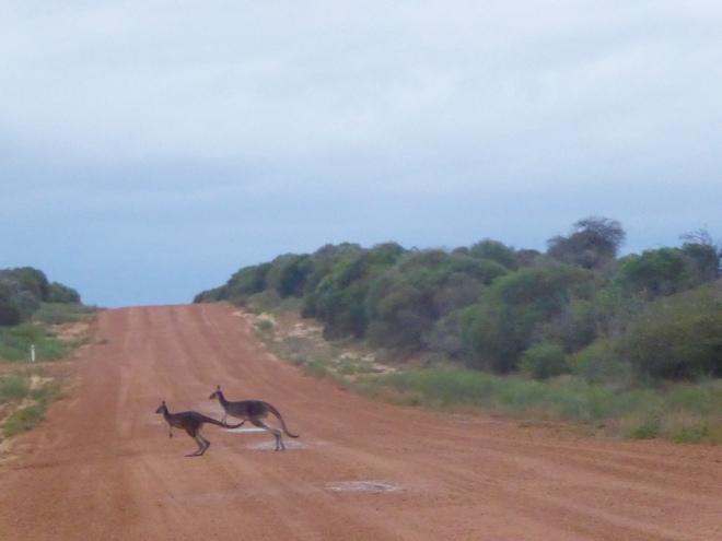 Hutt River kangaroos