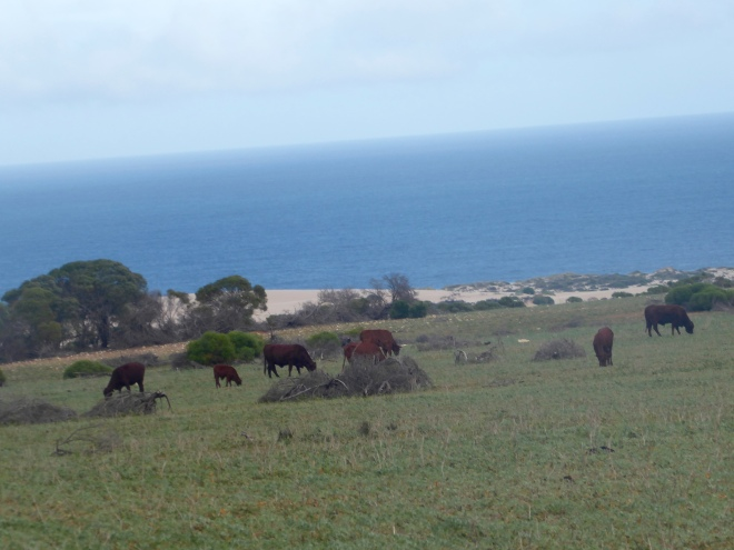 Cows grazing near Indian Ocean