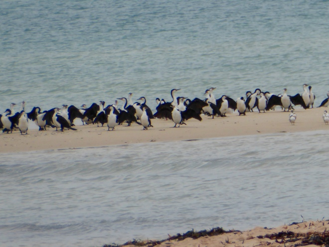 So many pelicans here