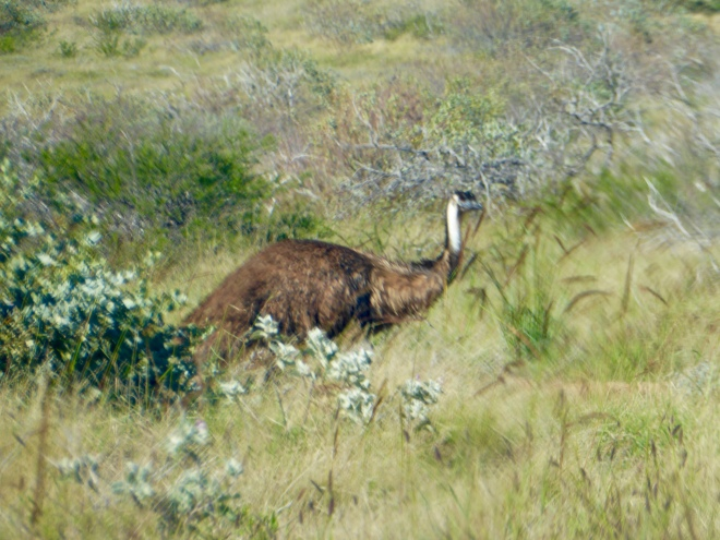 Friendly emu