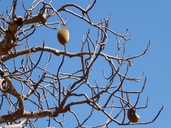 Nut of Boab tree