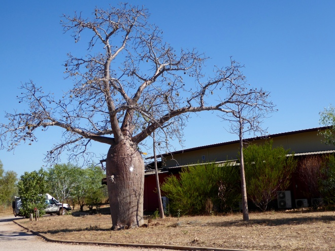 Mowanjum Center has a Boab tree