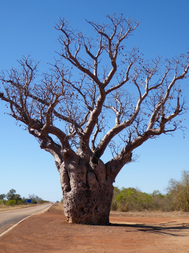 Fascinating trees. We will not see them in many other parts of Australia