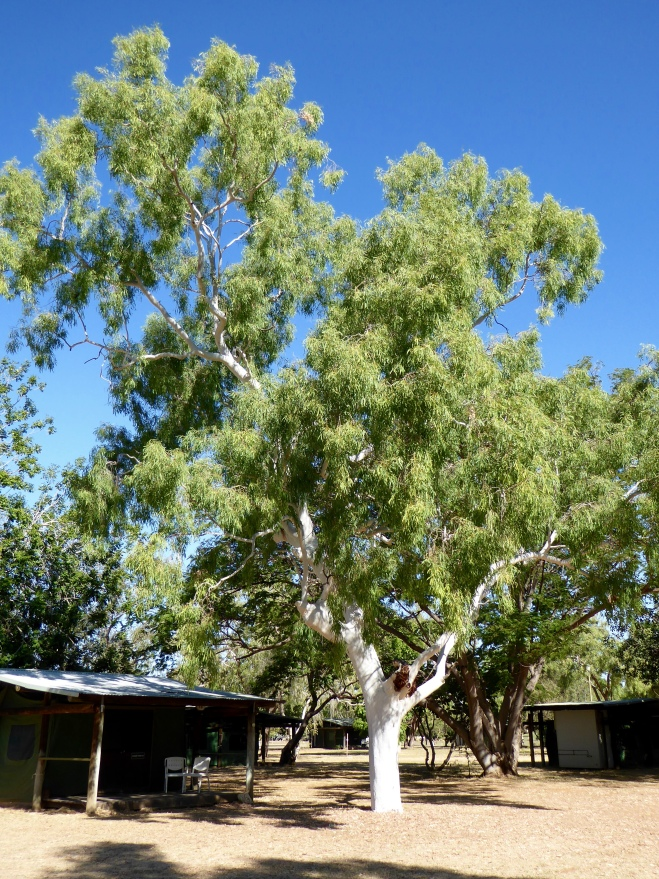 Coolibah tree with white branches