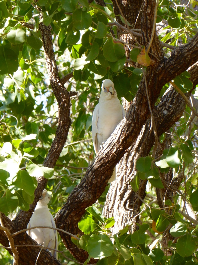 There were several corellas in the trees