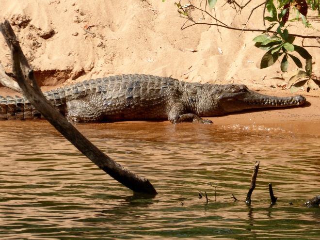Big crocodile. They SAY fresh water crocodiles will not bother us. But stay clear!!