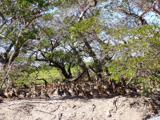 So many ducks along the river bank