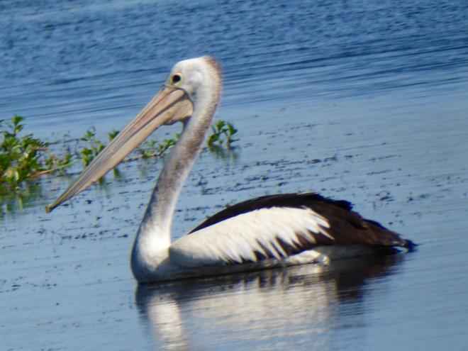 Always admire pelicans