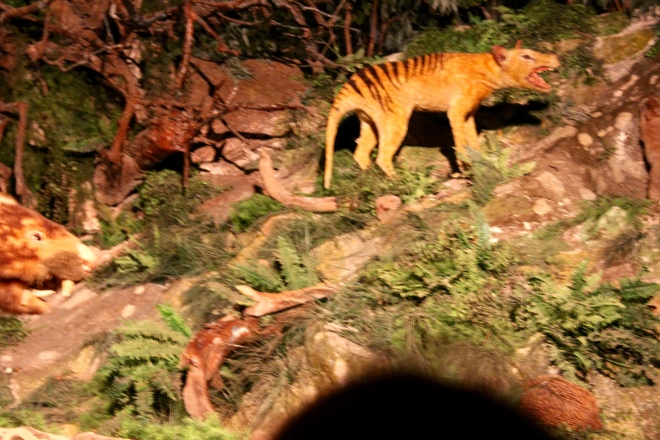Tasmanian Tiger--extinct