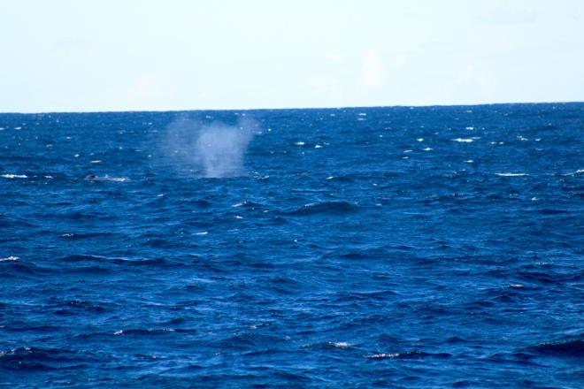 Humpback whales here 6