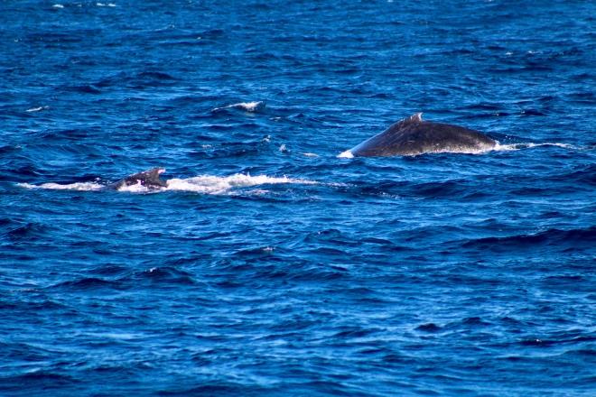 Humpback whales 4