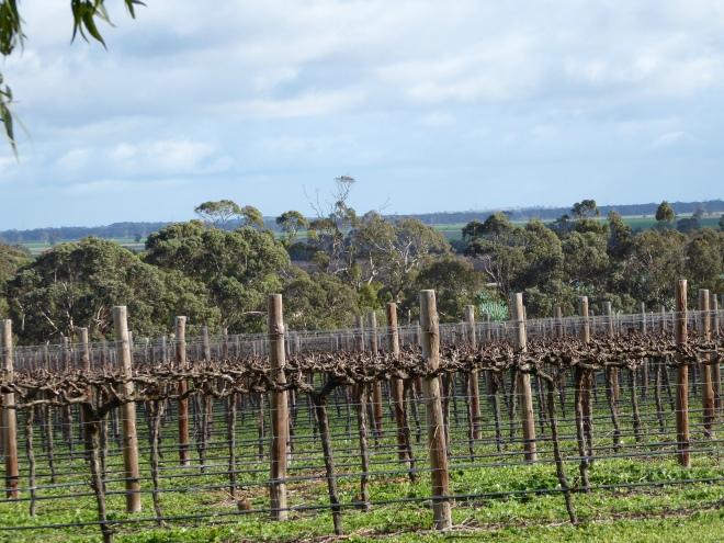 Growing grapes at the vineyard