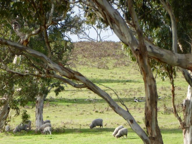 Raising sheep at the vineyard
