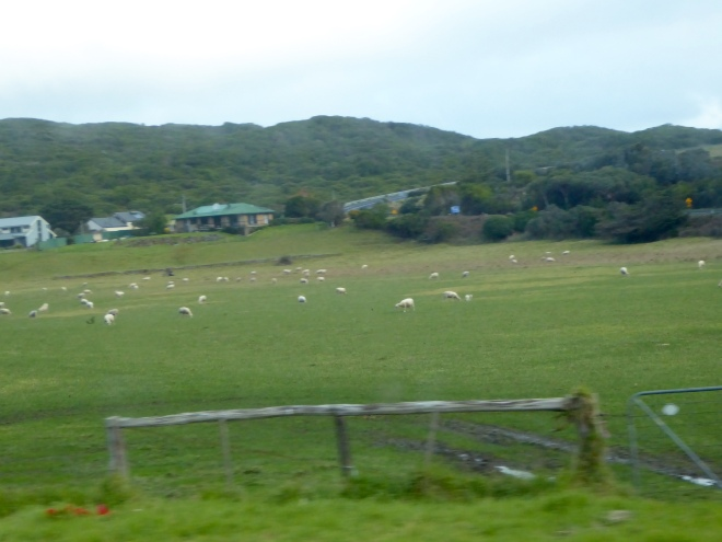 Sheep grazing along Great Ocean Road