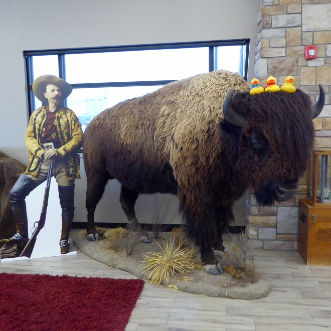 Colorado Traveling Ducks sitting on a buffalo's head