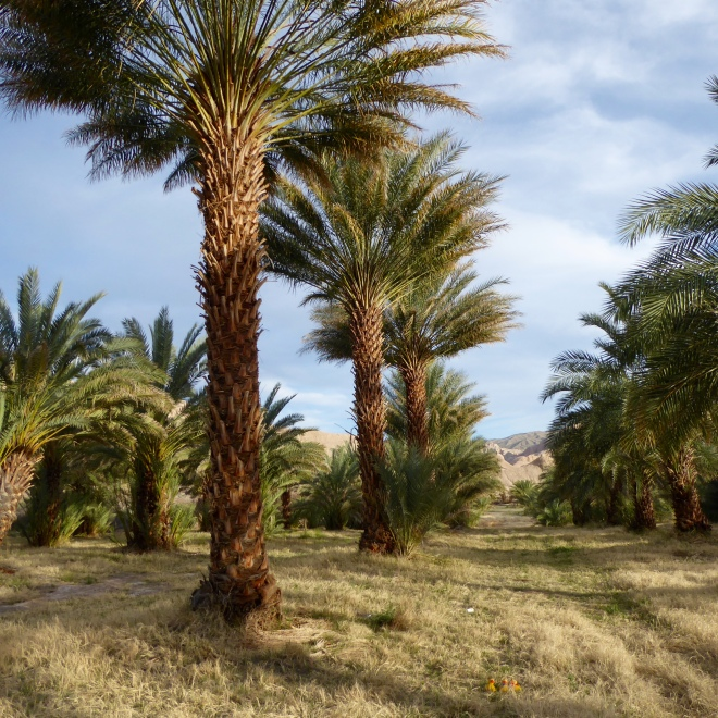 Date palm trees with Colorado Traveling Ducks in the grassy road
